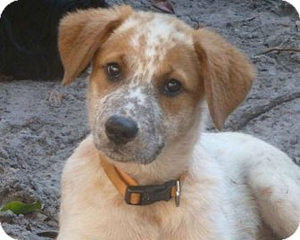 Australian Cattle Dog/Cattle Dog Mix Puppy for adoption in Dumfries, Virginia - Ginger-COURTESY