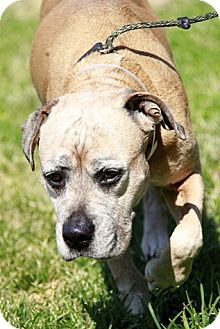 Boxer Mix Dog for adoption in Brookhaven, New York - Shirley
