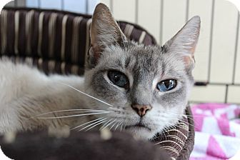 Siamese Cat for adoption in Voorhees, New Jersey - Prima Donna-lynx point