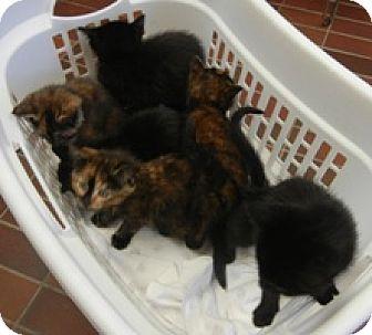 American Shorthair Kitten for adoption in Des Moines, Iowa - Orphan Kittens