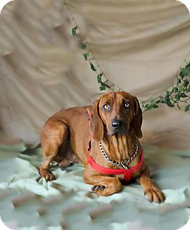 Redbone Coonhound Dog for adoption in Folsom, Louisiana - Bones