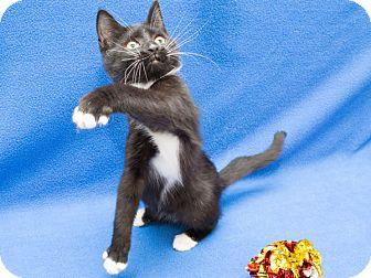 Domestic Shorthair Kitten for adoption in Warren, Michigan - Zazu - Kitten E