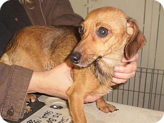 Dachshund Mix Dog for adoption in Sylva, North Carolina - Tootsie