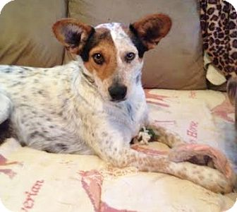 Blue Heeler/Australian Cattle Dog Mix Dog for adoption in Snohomish, Washington - Kami, cutest and friendliest!