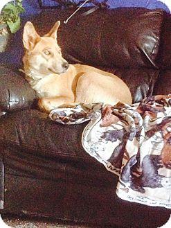 German Shepherd Dog/Husky Mix Dog for adoption in Hillsboro, Ohio - Bethany