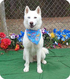 Siberian Husky Dog for adoption in Marietta, Georgia - LUNA