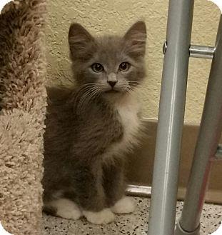 Domestic Longhair Kitten for adoption in Phoenix, Arizona - Soul Haven