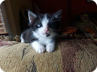 Domestic Mediumhair Kitten for adoption in Naperville, Illinois - Logan