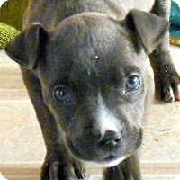 Adopt A Pet :: Baby Sassafras the Pocket Pit - Oakley, CA