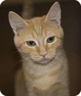 Domestic Shorthair Cat for adoption in Schertz, Texas - Scarlett TG