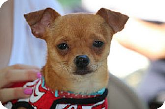 Chihuahua Mix Dog for adoption in Fountain Valley, California - Ziggy