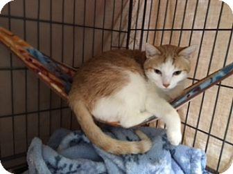 Domestic Shorthair Cat for adoption in Diamond Springs, California - Brett