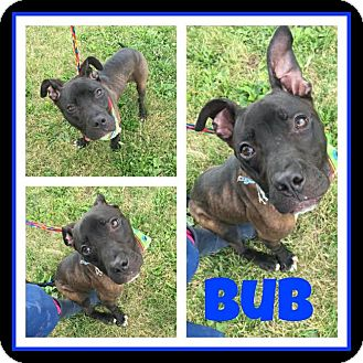 Pit Bull Terrier Mix Puppy for adoption in Steger, Illinois - Bub