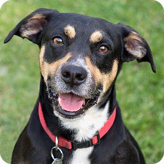 Shepherd (Unknown Type) Mix Dog for adoption in Westfield, New York - Merlin