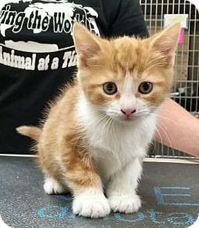Domestic Shorthair Kitten for adoption in North Wilkesboro, North Carolina - Skye