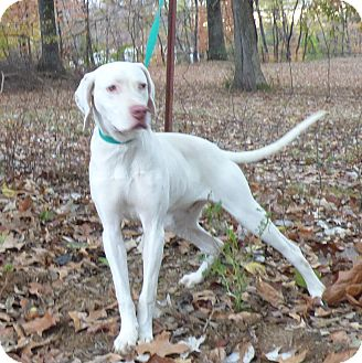 Pointer Dog for adoption in Bedminster, New Jersey - Saul