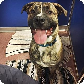 Mixed Breed (Large) Mix Dog for adoption in Denver, Colorado - Blu