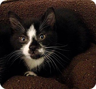 Domestic Shorthair Kitten for adoption in River Edge, New Jersey - Cannoli