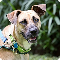 Black Mouth Cur Mix Dog for adoption in Houston, Texas - Rosie