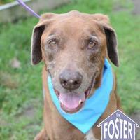 Adopt A Pet :: Boss - Ann Arbor, MI
