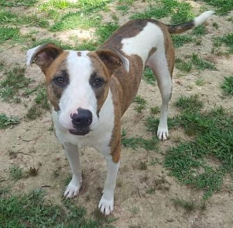 Terrier (Unknown Type, Medium) Mix Dog for adoption in Providence, Rhode Island - Brady CP LB in MS