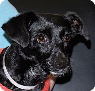 Terrier (Unknown Type, Small) Mix Dog for adoption in Spokane, Washington - Honey