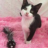 Adopt A Pet :: Daizy - Rochester Hills, MI