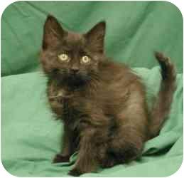 Domestic Mediumhair Kitten for adoption in Sacramento, California - Kittens