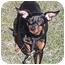 Photo 2 - Miniature Pinscher Dog for adoption in Owatonna, Minnesota - Ginger