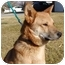 Photo 3 - Jindo/Shiba Inu Mix Dog for adoption in Marysville, California - Haru
