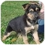 Photo 4 - German Shepherd Dog Puppy for adoption in North Judson, Indiana - Schultzy