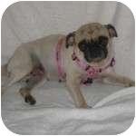 Pug Dog for adoption in Windermere, Florida - Ms. Puggie