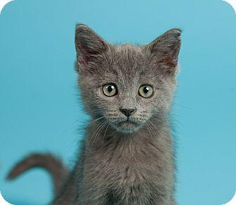 Domestic Shorthair Kitten for adoption in St. Louis, Missouri - Dash