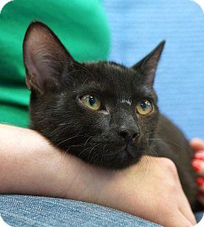 Domestic Shorthair Cat for adoption in Houston, Texas - Salem