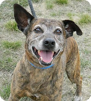 Shepherd (Unknown Type)/American Pit Bull Terrier Mix Dog for adoption in Cheyenne, Wyoming - Karorot