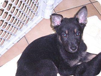 "German Shepherd Dog/Labrador Retriever Mix Puppy for adoption in New Castle, Pennsylvania - "" Dallas """