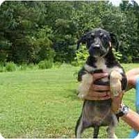 Adopt A Pet :: Boomer II - Alexandria, VA