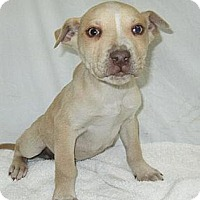 Adopt A Pet :: Denim - Danbury, CT