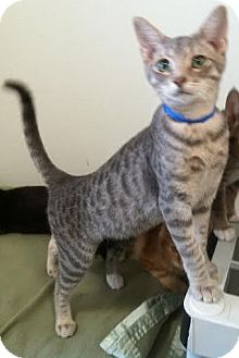 Domestic Shorthair Kitten for adoption in Westminster, California - Nico