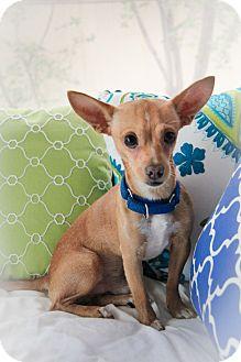 Chihuahua Dog for adoption in San Antonio, Texas - Papi - San Antonio