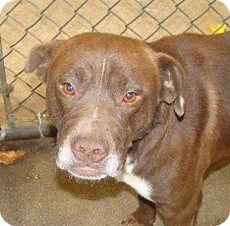 Labrador Retriever Mix Dog for adoption in Henderson, North Carolina - Choco