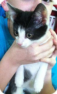 Domestic Shorthair Kitten for adoption in Riverhead, New York - J.T.