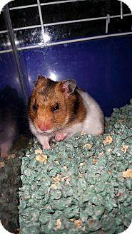 Hamster for adoption in Edmonton, Alberta - Pashmina