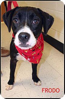 Terrier (Unknown Type, Medium) Mix Dog for adoption in Houston, Texas - Frodo