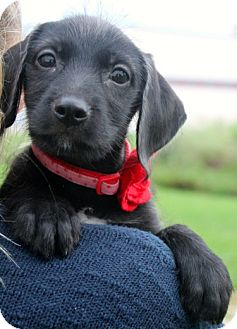 Labrador Retriever/Terrier (Unknown Type, Medium) Mix Puppy for adoption in Mt. Prospect, Illinois - Clue