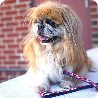 Pekingese Mix Dog for adoption in Detroit, Michigan - Pal-Adopted!