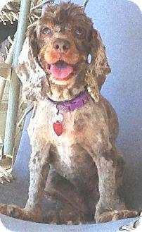 Cocker Spaniel Dog for adoption in Santa Barbara, California - Daisy May