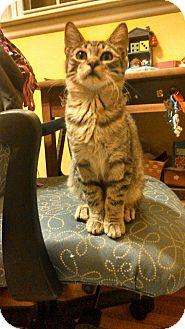 Domestic Shorthair Kitten for adoption in Hamden, Connecticut - Kevin