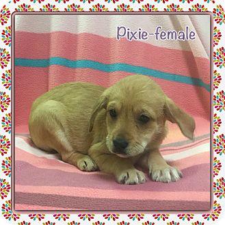 Dachshund/Terrier (Unknown Type, Medium) Mix Puppy for adoption in Allentown, Pennsylvania - Pixie (etaa)