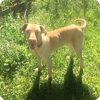 Adopt A Pet :: Gus - Lewisville, IN